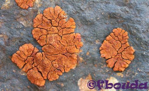 Acarospora sinopica01