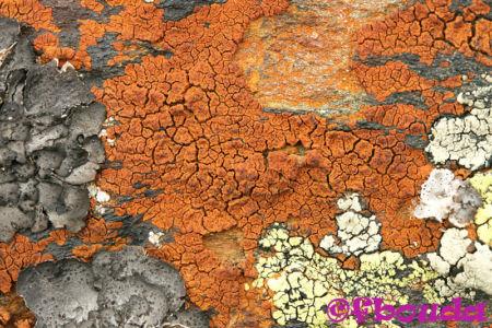 Acarospora sinopica02