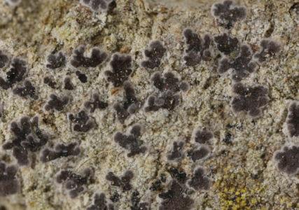 Arthonia leucopellea