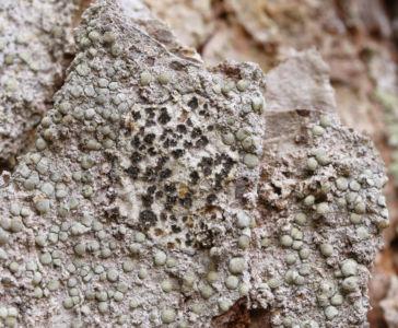 Arthonia leucopellea Debrnik Aa 2020