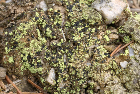 Arthrorhaphis citrinella Soil Brdy Praha 2020