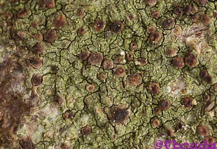 Bacidia arceutina