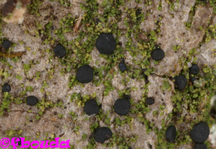 Bacidia subincompta