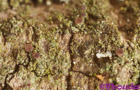 Bacidina neosquamulosa01