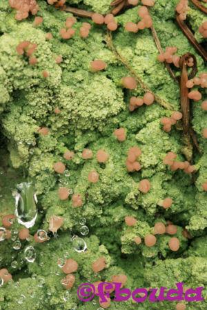 Baeomyces rufus01
