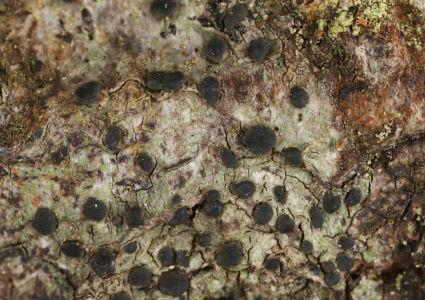 Biatora ocelliformis02 Gorgany Sa 2019