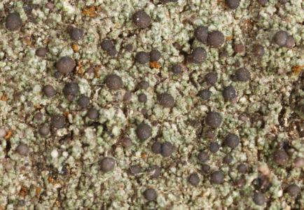 Bilimbia sabuletorum NMnM Zídka01