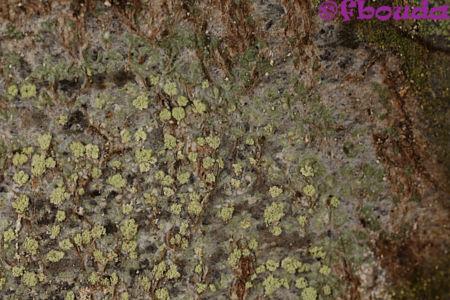 Buellia griseovirens02