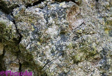 Buellia violaceofusca