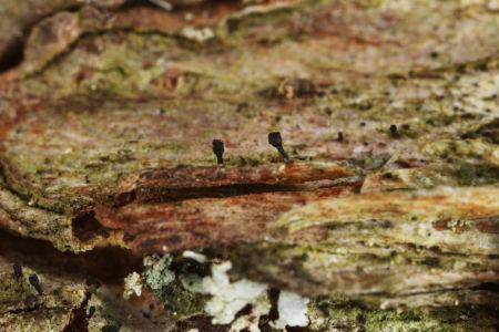 Calicium pinastri01 Gorgany Pc