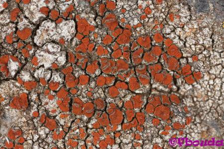 Caloplaca crenularia01