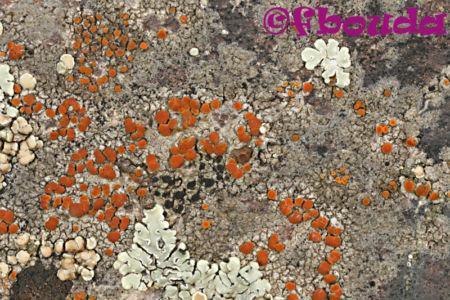 Caloplaca arenaria