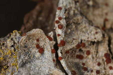 Caloplaca ferruginea