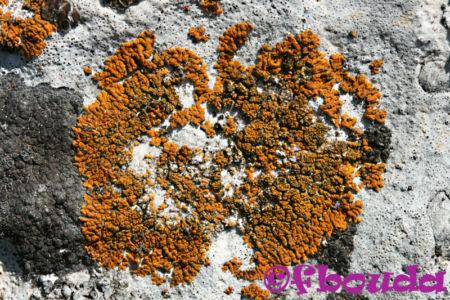 Caloplaca granulosa