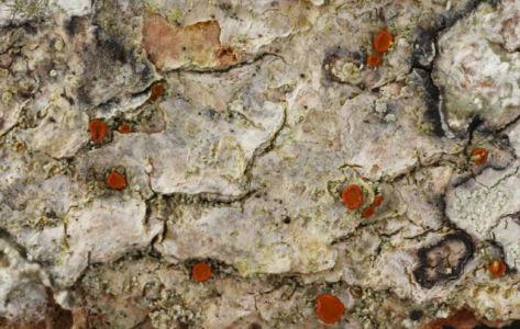 Caloplaca herbidella